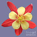 Terry Weaver - Red N Yellow Flower