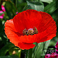 Nava Jo Thompson - Red Poppy