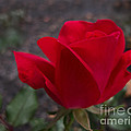 Arlene Carmel - Red Rose