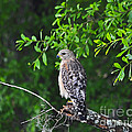 Al Powell Photography USA - Red-shouldered Hawk