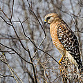 Dawna  Moore Photography - Red-shouldered Hawk Blue...