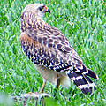 Dorothy Menera - Red Shouldered Hawk with...