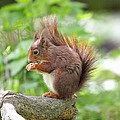 Martyn Bennett - Red Squirrel Eating
