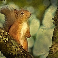 Robert Murray - Red Squirrel