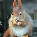 Martyn Bennett - Red Squirrel With A Nut