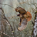 Angie Vogel - Red-Tail Hawk in Flight