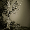 Bradley R Youngberg - Red Tail Hawk On Loop...
