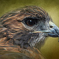 Jai Johnson - Red Tailed Hawk at...