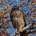 Kathleen Bishop - Red-Tailed Hawk in a...