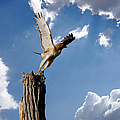 Roy Williams - Red-Tailed Hawk Perch...