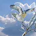 Roy Williams - Red-tailed Hawk...