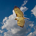 Roy Williams - Red-tailed Hawk Soaring...
