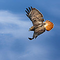 Bill  Wakeley - Red-Tailed Hawk Soaring...