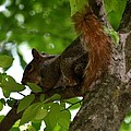 Maria Urso - Artist and Photographer - Red Tailed Squirrel