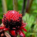 Imran Ahmed - Red Torch Ginger Flower...