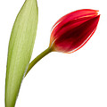 David Bowman - Red Tulip