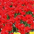 Marcia Fontes Photography - Red Tulip Field