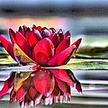 Carol R Montoya - Red Water Lily and...