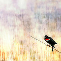 Rick Mosher - Red Wing Blackbird