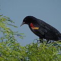 Bob Marquis  - Red winged Blackbird