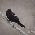 Jayne Carney - Red Winged Blackbird