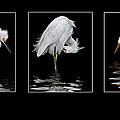 Brian Tarr - Reflecting on Egrets
