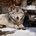 Wolves Only - Resting Timber Wolf