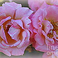 Photographic Art and Design by Dora Sofia Caputo - Rhapsody in Pink - Roses