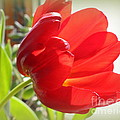 Dora Sofia Caputo - Rhapsody in Red - Tulip