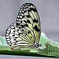 Inspired Nature Photography By Shelley Myke - Rice Paper Butterfly on...