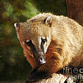 Terri  Waters - Ring Tailed Coati