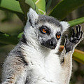 Margaret Saheed - Ring-tailed Lemur In...