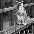Terri  Waters - Ring Tailed Lemur