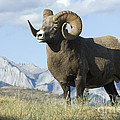 Bob Christopher - Rocky Mountain Big Horn...