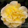 Jerry Cowart - Romantic Yellow Rose...