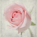 Hafiz Afraizal - Rose in soft pink
