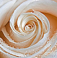 Susan Candelario - Rose Swirls and Dew