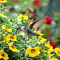 Deena Stoddard - Ruby Throated Hummingbird