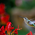 Denis Therien - Ruby-throated...