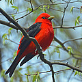 Rodney Campbell - Scarlet Tanager in the...