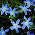 Mary Machare - Scilla Flowers in the...