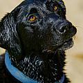 Henry Inhofer - Scooby the Black Labrador