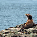 Melody Watson - Sea Lion in the Sun