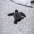 Sebastian Musial - Sea Turtle