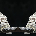 Inspired Nature Photography By Shelley Myke - Seeing Double- Snowy Owl...