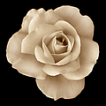 Jennie Marie Schell - Sepia Rose Flower...