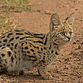 Tony Murtagh - Serval Wild Cat