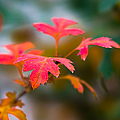Alexander Senin - Shades Of Autumn - Red...