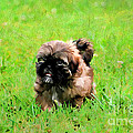 Darren Fisher - Shih Tzu Puppy
