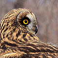 Kae Cheatham - Short-eared Owl 1